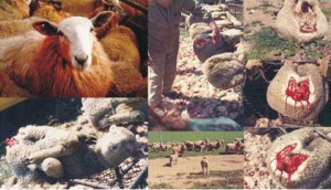 Sheep used for wool, mulesing.